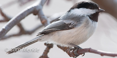 Carving a Black-capped Chickadee